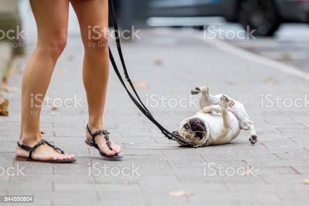 Cute pug at the leash rolls on the sidewalk picture id844550804?b=1&k=6&m=844550804&s=612x612&h=oirvukj9pn4 znrxiulsue7utqgwsgythrhx5a9rdym=