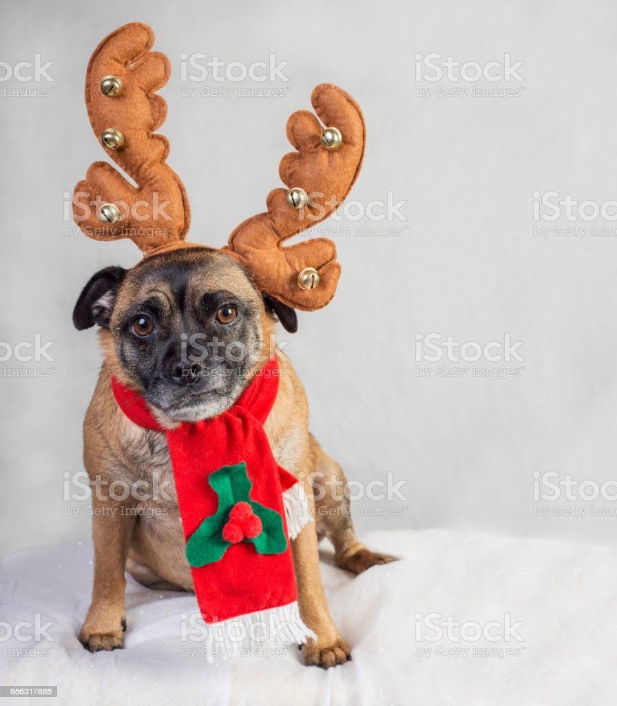 Cute Pug Cross Dog Wearing Santa Hat And Scarf Stock Photo   More ... b8d7100eb4b