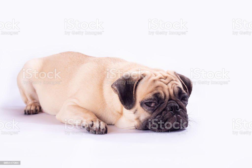 Cute pug dog feel boring stock photo