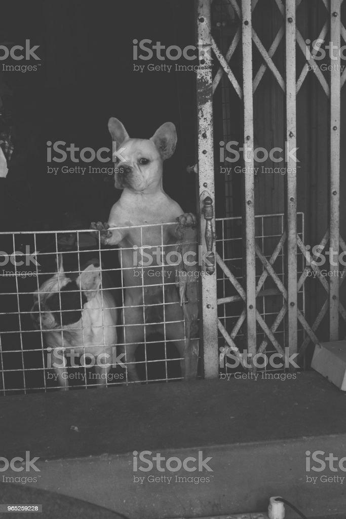 Cute Pug Dog royalty-free stock photo