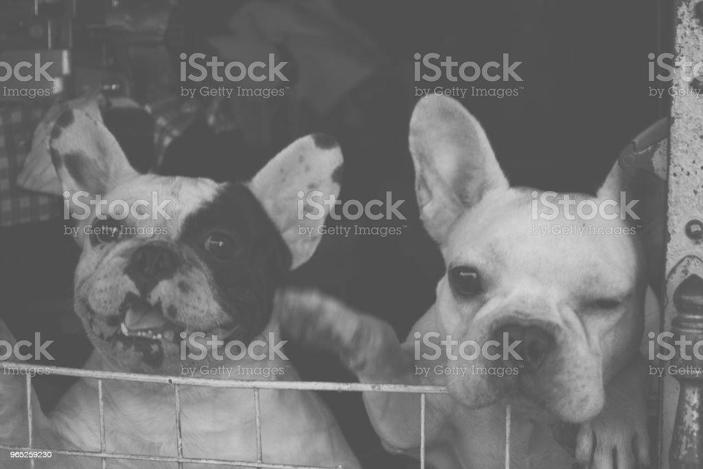 Cute Pug Dog zbiór zdjęć royalty-free