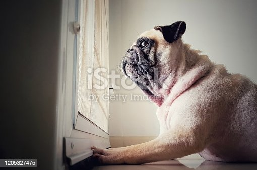 A cute pug dog puppy is sit and waiting owner bring to play outside at the door.