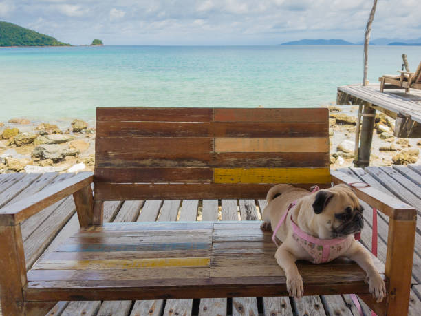 Cute pug dog relaxing restingor sleeping at the sea beach under the picture id960631290?b=1&k=6&m=960631290&s=612x612&w=0&h=5j55oysvr0vqbmuuac0ldc7gjd5wzdx2ahf5catlvcq=