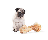 adorable cute pug dog sitting and looking at huge bone, isolated on white background