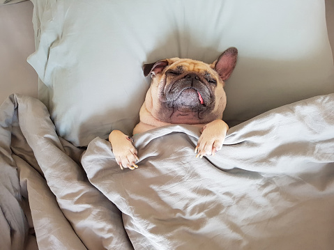 Cute pug dog sleep on pillow in bed and wrap with the blanket feel happy in relax time