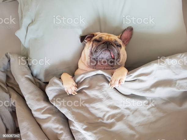 Cute pug dog sleep on pillow in bed and wrap with the blanket feel picture id905087342?b=1&k=6&m=905087342&s=612x612&h=syktpblneemm0  sx6reeu70brwcrvcsjb5pdgbvlxu=
