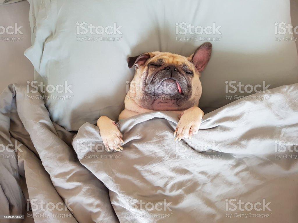 귀여운 퍼 그 개 수 면 침대와 담요 느낌에 행복 한 포장에 베개에 휴식 시간 스톡 사진