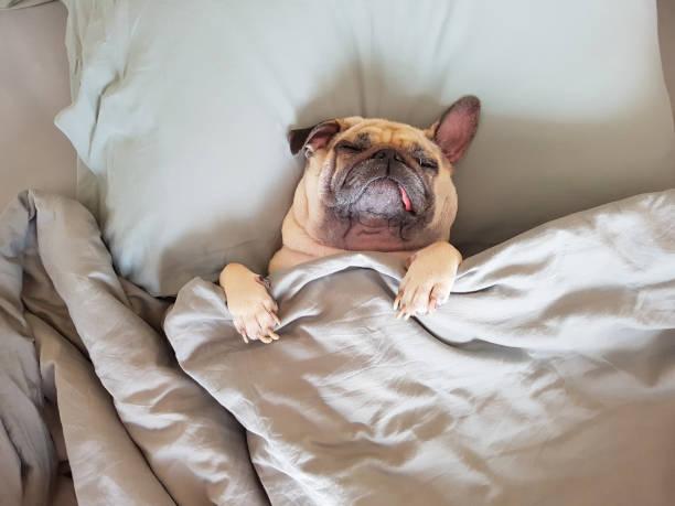 ベッドと毛布感じる幸せとラップで枕にかわいいパグ犬睡眠リラックス時間 - 週末の予定 ストックフォトと画像