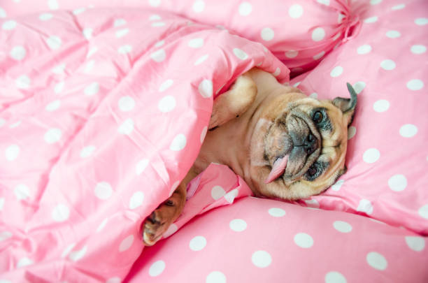 Cute pug dog sleep rest in the bed, wrap with blanket and tongue sticking out in the lazy time Cute pug dog sleep rest in the bed, wrap with blanket and tongue sticking out in a lazy time protruding stock pictures, royalty-free photos & images