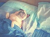 Cute pug dog sleep rest in the bed, wrap with blanket and tongue sticking out in the lazy time