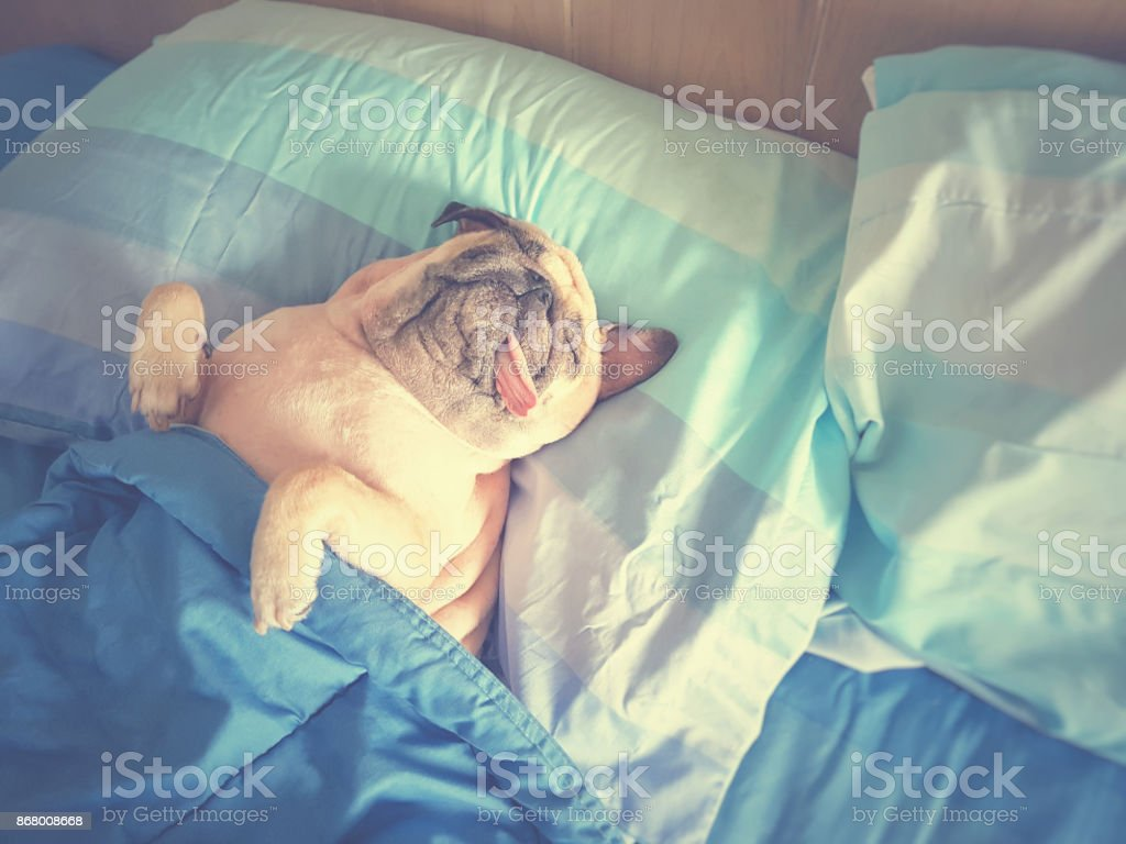 Cute pug dog sleep rest in the bed, wrap with blanket and tongue sticking out in the lazy time stock photo