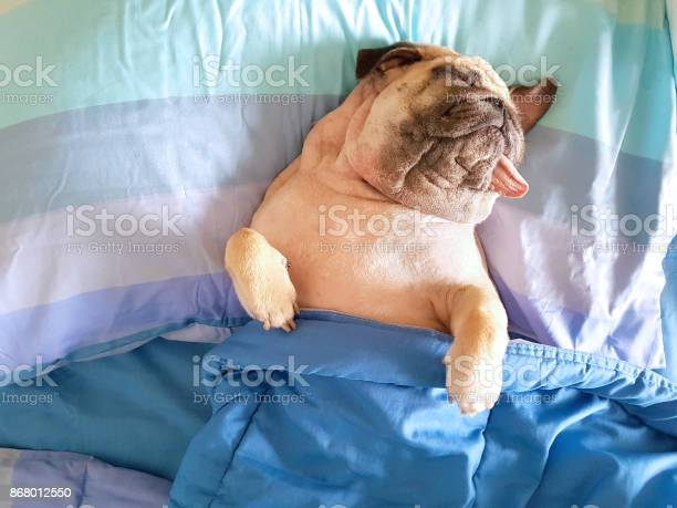 Cute pug dog sleep rest in the bed wrap with blanket and tongue out picture id868012550?b=1&k=6&m=868012550&s=612x612&h=ndopdyd1uo9zay2  gbp0klrhjlr2pxuimsbhkh8ple=