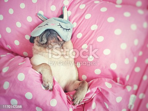 istock Cute pug dog sleep rest with funny mask in the bed, wrap with blanket and tongue sticking out in the lazy time. 1170142058
