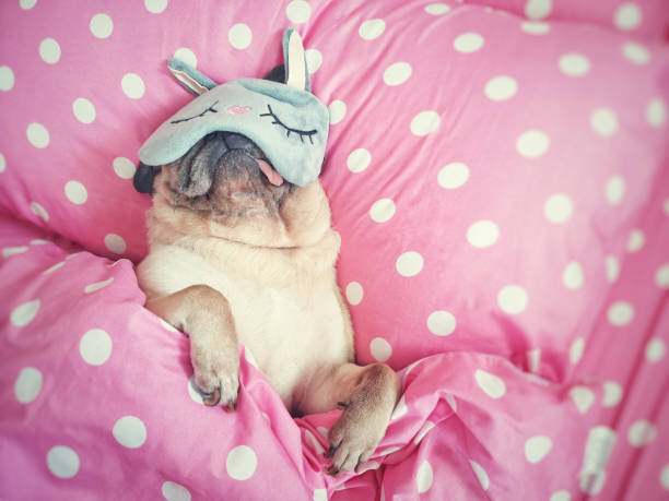 Cute pug dog sleep rest with funny mask in the bed wrap with blanket picture id1170142058?b=1&k=6&m=1170142058&s=612x612&w=0&h=tawezs0g6 ylqlqtrnctz6gk1tvqbtq7qmgselhfjvq=