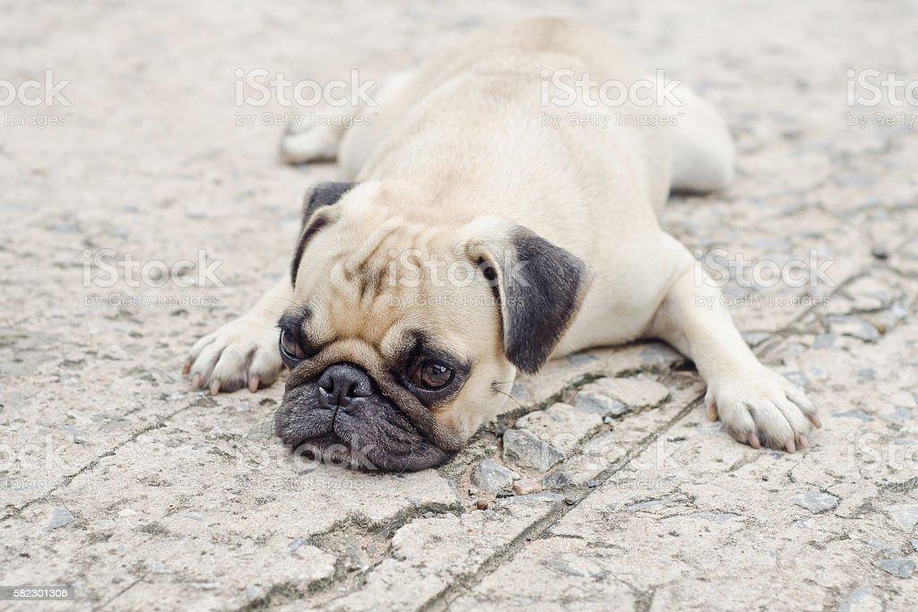 Cute pug lying,dog very sadd stock photo