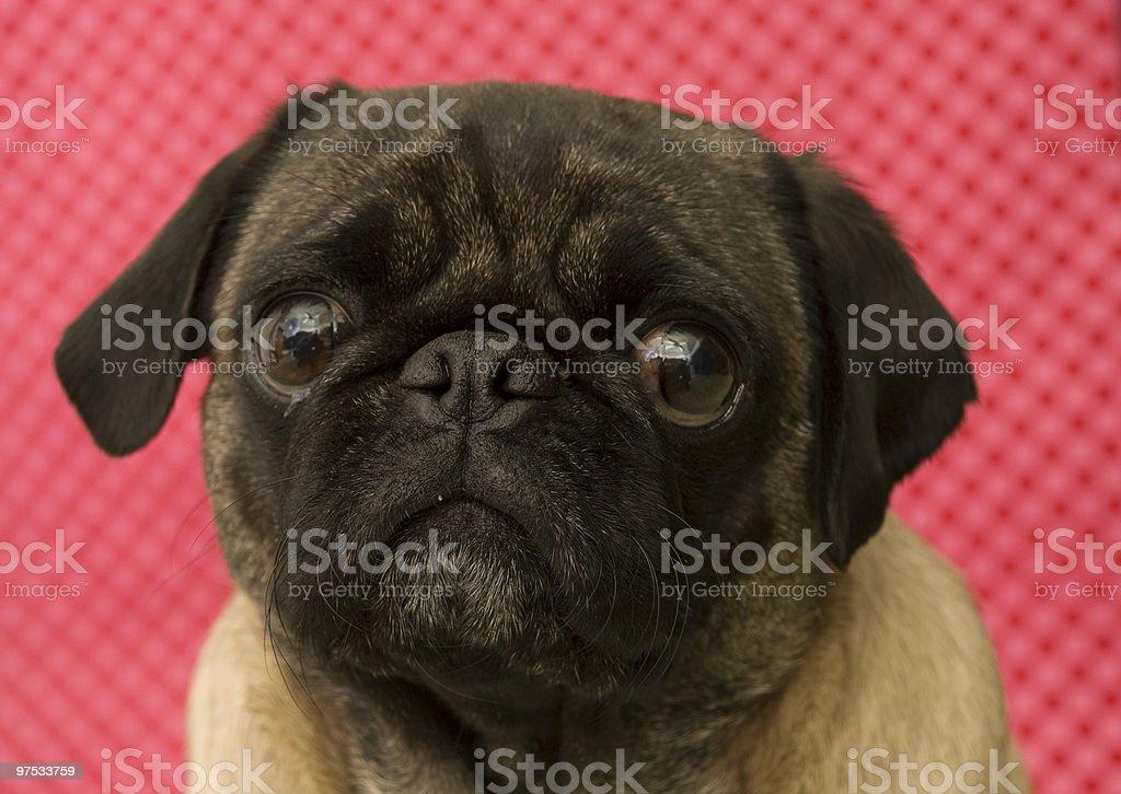 Cute Pug Portrait royalty-free stock photo