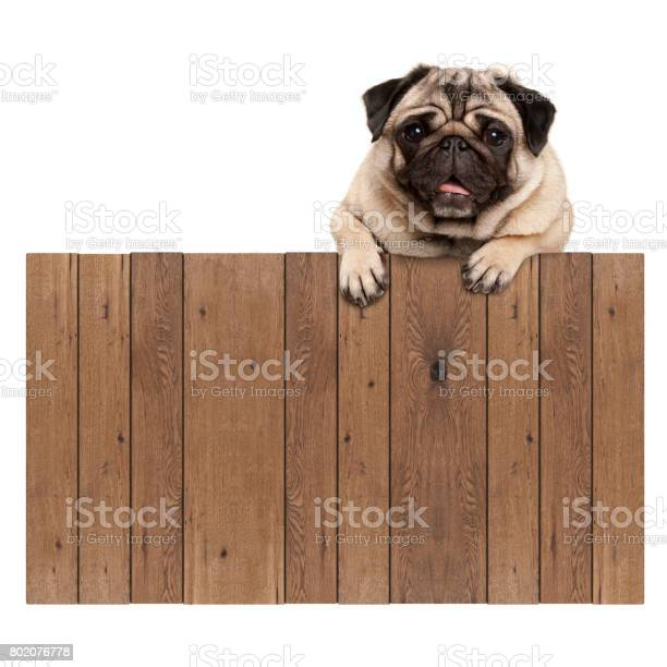 Cute pug puppy dog hanging with paws on blank wooden fence sign picture id802076778?b=1&k=6&m=802076778&s=612x612&h=qsb1ho7aevtnhvhoycczmwjwpyoknuf79tpuvteq41k=