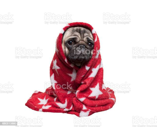 Cute pug puppy dog sitting down rolled up in fuzzy red blanket on picture id680513880?b=1&k=6&m=680513880&s=612x612&h=bwfwxddwt0oebf1geoqcvk18efzxrynive4gyuohqwg=