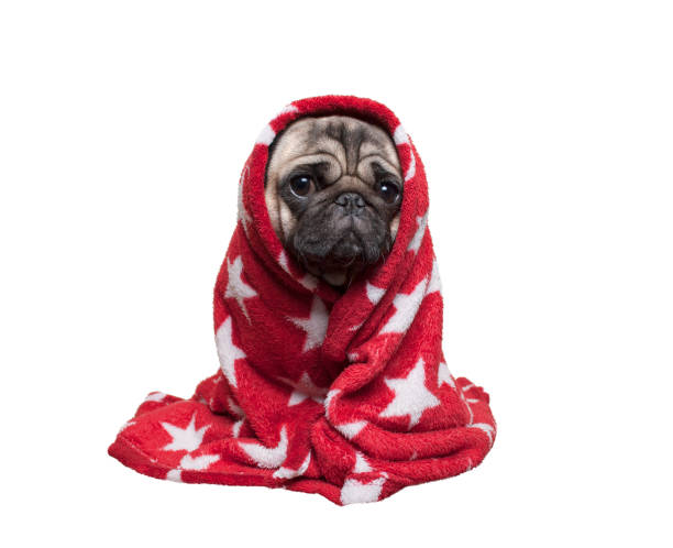 cute pug puppy dog sitting down, rolled up in fuzzy red blanket, isolated on white background stock photo