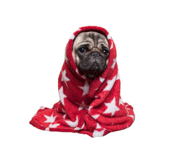 ファジィ赤い毛布、白い背景で隔離の重ね合わせた、座ってかわいいパグ子犬犬 ストックフォト