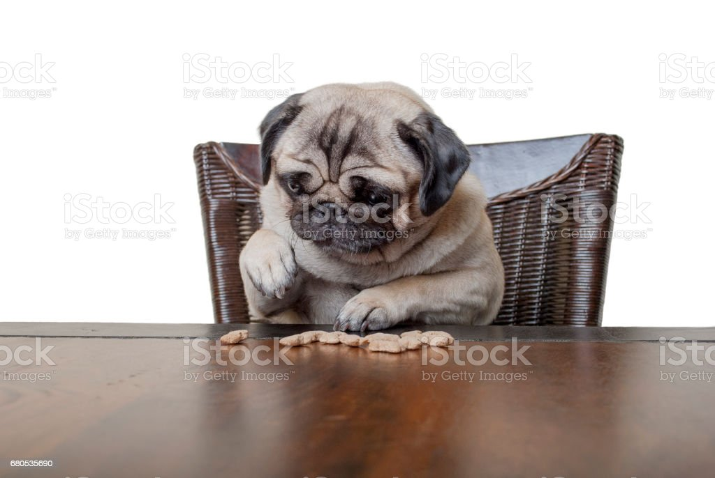cute pug puppy dog sitting on chair at wooden dining table counting kibbles, being on diet stock photo