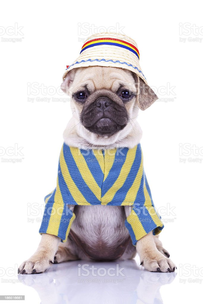 cute pug puppy dog wearing clothes royalty-free stock photo
