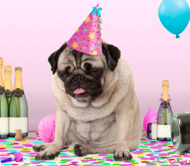 süße mops welpen hund trägt partyhut, liegend auf konfetti, betrunken auf champagner mit kater - silvester mit hund stock-fotos und bilder