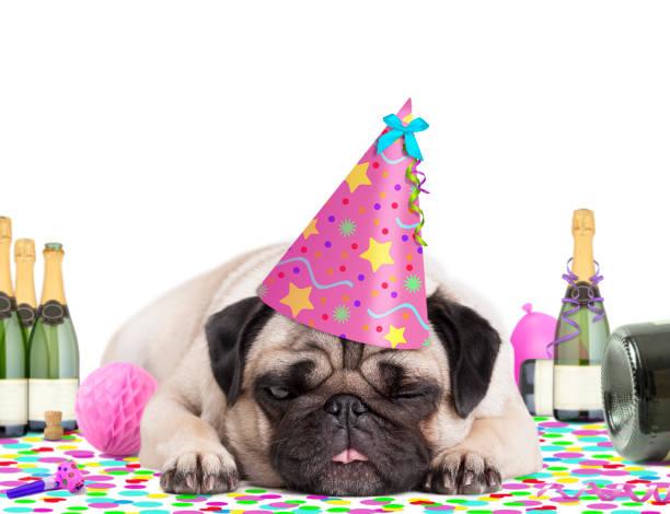 süße mops welpen hund trägt partyhut, liegend auf konfetti, gefüttert, und betrunken auf champagner, müde vom feiern, auf weißem hintergrund - silvester mit hund stock-fotos und bilder
