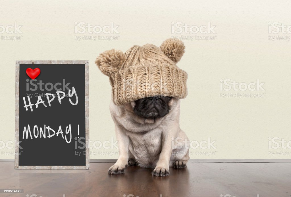 cute pug puppy dog with bad monday morning mood, sitting next to blackboard sign with text happy monday withcopy space stock photo