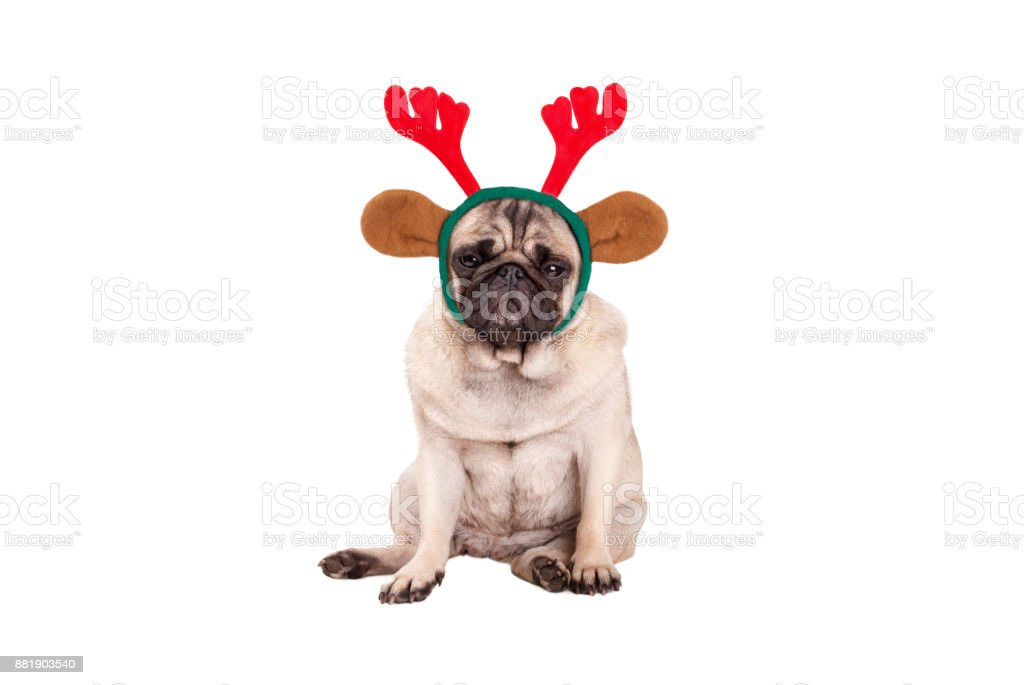 cute pug puppy dog with reindeer antlers diadem for Christmas, sitting down, looking grumpy stock photo
