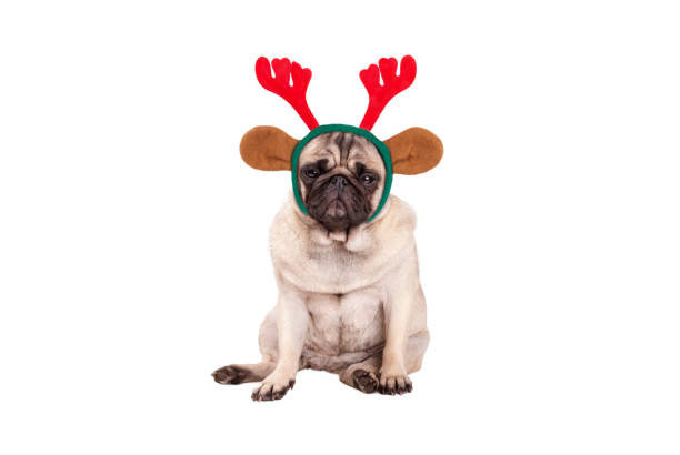 cute pug puppy dog with reindeer antlers diadem for christmas, sitting down, looking grumpy - diadem stock pictures, royalty-free photos & images