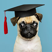 Cute Pug puppy in a graduation cap