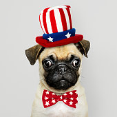 Cute Pug puppy in a Uncle Sam hat and bow tie