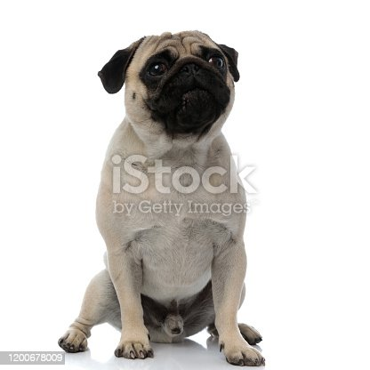 Cute pug sitting with its mouth closed on white studio background