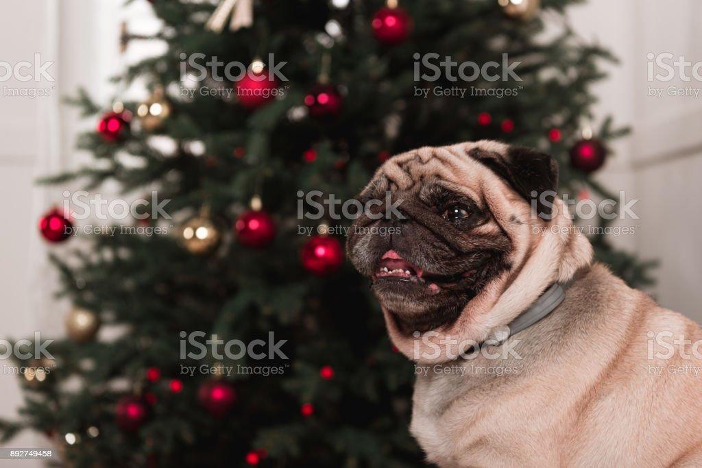 cute pug with christmas tree stock photo