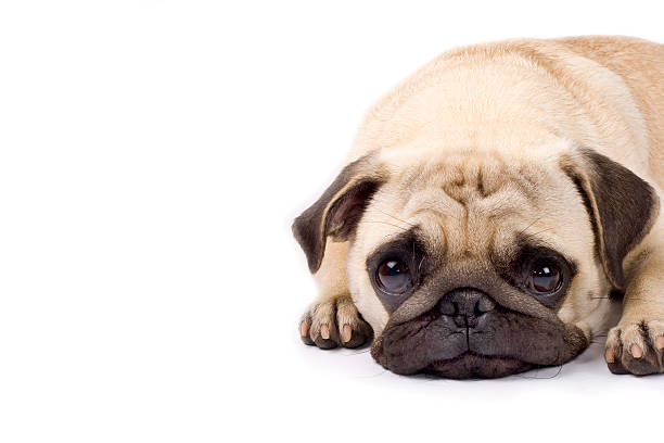 süße mops mit traurigen augen - hundeaugen stock-fotos und bilder