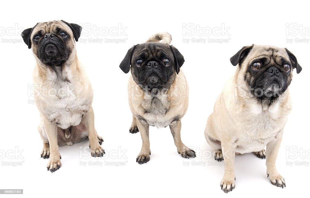 Süße Pugs auf weißem Hintergrund Lizenzfreies stock-foto