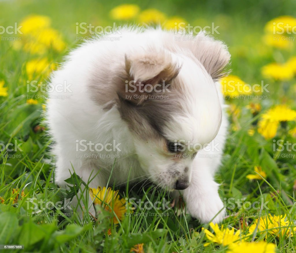Cute Pup in Flowers photo libre de droits
