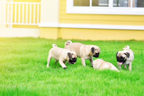 niedliche welpen braunen pug in grünem rasen - jagdthema schlafzimmer stock-fotos und bilder