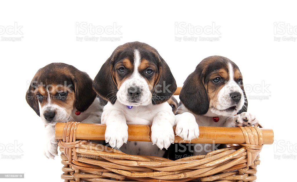 Cute Puppies In A Basket royalty-free stock photo