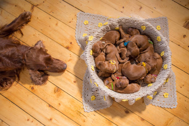 Cute puppies sleeping in basket One week old Irish setter puppies sleeping in a basket. Mother of the puppies is watching them. newborn animal stock pictures, royalty-free photos & images