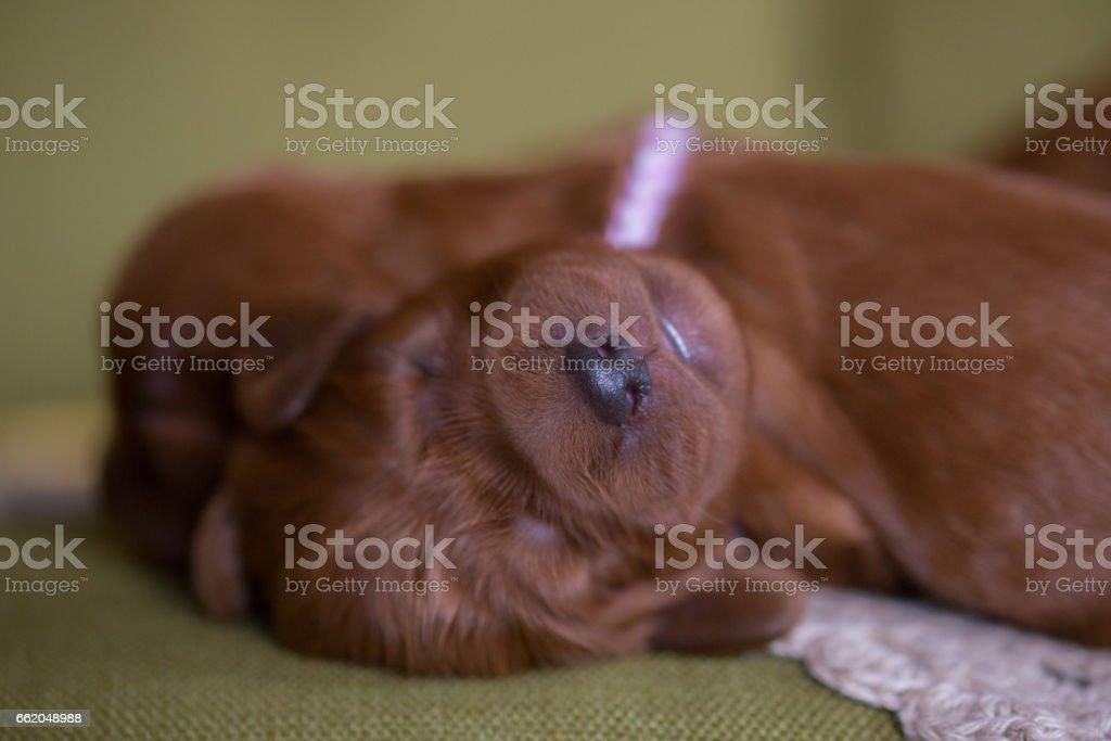 Cute puppies sleeping royalty-free stock photo