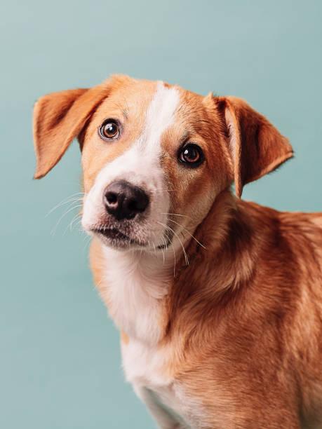 Cachorro lindo contra la raza mezclada azul - foto de stock