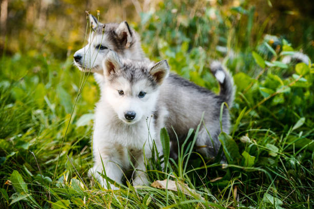 cute puppy alaskan malamute run on grass garden stock photo