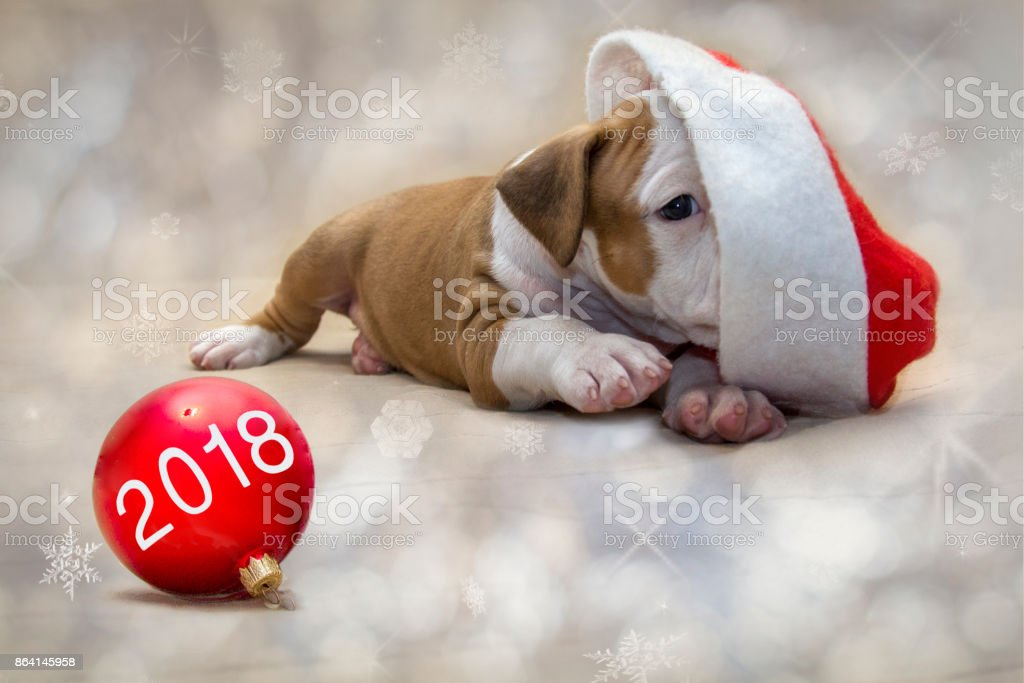 Cute puppy American Staffordshire Terrier dog as a symbol of 2018 New Year with a Christmas attributes. Concept New Year. royalty-free stock photo