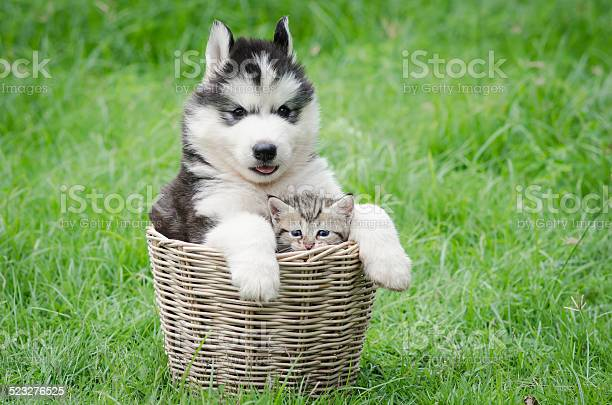 Cute puppy and kitten in basket picture id523276525?b=1&k=6&m=523276525&s=612x612&h=uwgip41rrgooaj 5vpo9hd8wpnq5nk9nawktnqni96a=