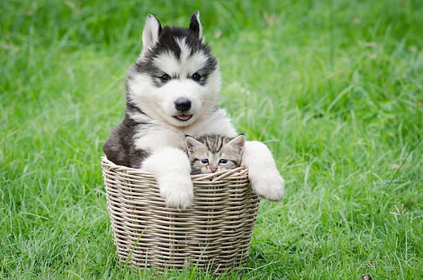 Cute puppy and kitten in basket picture id523276525?b=1&k=6&m=523276525&s=612x612&w=0&h=2kpxzy r3d laewdu8ofaq494mdyfz9ofjd3kf6fjxk=