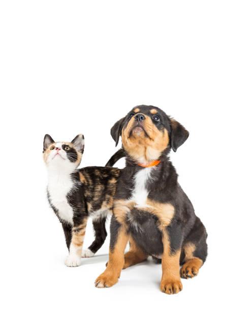 Cute puppy and kitten looking up into copy space picture id1006343676?b=1&k=6&m=1006343676&s=612x612&w=0&h=egakrkjpjwxl pn u6tlczdqfpkyf um yc8qduz87q=