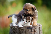 istock cute puppy and kitten on the grass outdoor; 625239234