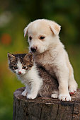 istock cute puppy and kitten on the grass outdoor; 625309358